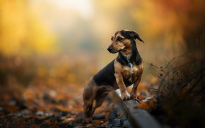 Picture autumn, rails, dog, bokeh, Dachshund
