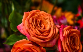 Picture roses, orange, bouquet, petals, buds