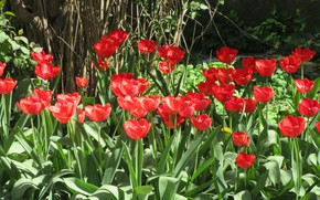 Picture tulips, flowerbed, April, spring 2018, Meduzanol ©