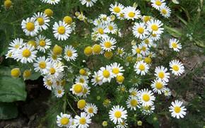 Picture flowers, chamomile, Mamala ©, field chamomile