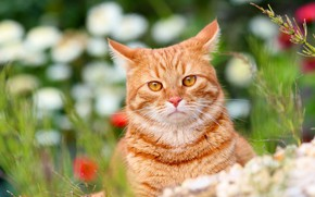 Wallpaper animals, red cat, nature, cottage, Pets, cats, summer, Stepan, Stepan, cat