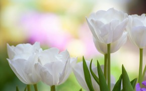 Picture macro, background, petals, tulips, buds, white tulips