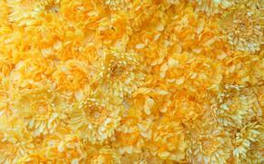 Picture flowers, yellow, Chrysanthemum