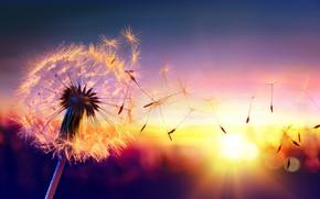 Wallpaper the dawn the sun, macro, nature, dandelion, dandelion, the wind flying seeds, blur, wallpaper., bokeh, ...