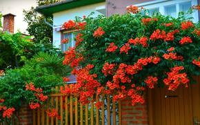 Picture Trees, House, trees, wicket, nature, Flowering, Yard, Red flowers, campsis, Flowering, Red flowers, Kampsis