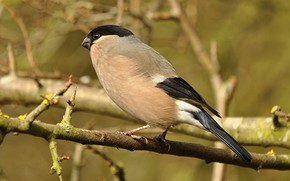 Picture bird, branch, beak, tail, bullfinch, female