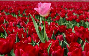 Wallpaper field, red tulips, upstart, Netherlands, tulips, pink Tulip, a lot, plantation