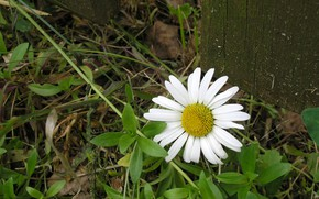 Picture flower, summer, Daisy