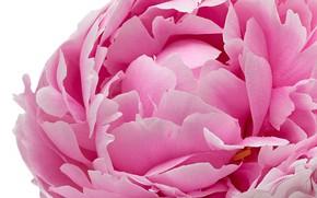 Picture macro, pink, petals, peony
