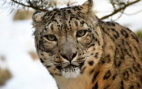 Picture look, snow leopard, snow leopard