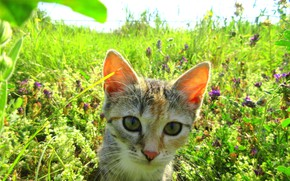 Wallpaper summer, cat, meadow, kitty