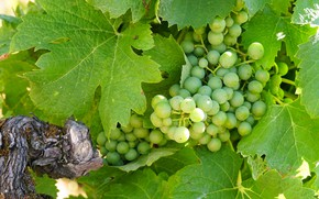 Picture nature, Bush, grapes, brush, bunches