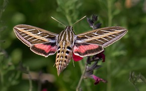 Picture butterfly, wings, azcan common, hyles