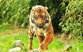 Picture look, background, Sumatran tiger