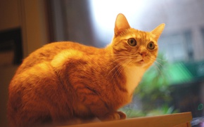 Wallpaper cat, blurred background, Tomcat, photoshoot, sitting, Kote, the room, looks, red, wall, window, table, look, ...