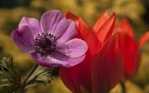 Picture macro, Tulip, petals, anemone