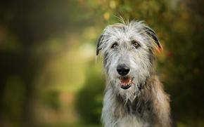 Picture dog, bokeh, Igraine