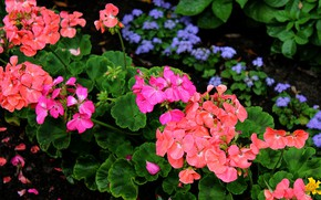 Picture summer, plants, flowerbed, flora, geranium, garden flowers