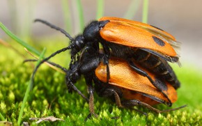 Picture greens, erotic, macro, love, insects, background, moss, spring, pair, bugs, orange, a couple, antennae, two, …