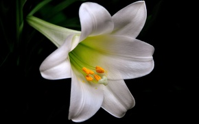 Picture macro, background, Lily, petals