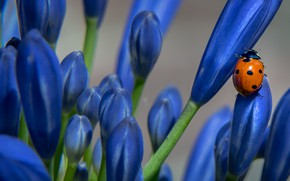 Picture macro, flowers, background, ladybug, beetle, blue, crocuses, insect, buds, blue