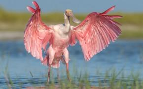 Picture water, bird, wings, Roseate spoonbill