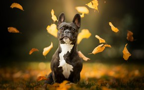 Picture autumn, leaves, dog, bokeh, French bulldog