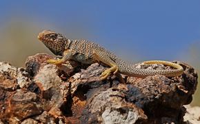 Picture nature, stones, reptile, lizard