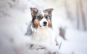 Picture look, snow, portrait, dog, Australian shepherd, Aussie