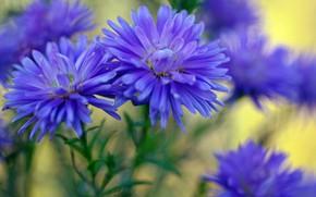 Picture autumn, macro, flowers, nature, beauty, plants, October, blue color, flora, perennials