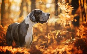 Wallpaper bokeh, autumn, dog, Great Dane, forest