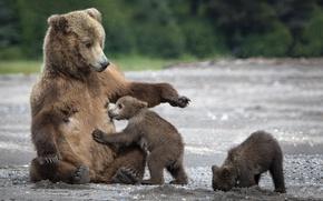 Wallpaper sand, bears, tit, bear, bears, mom, bears
