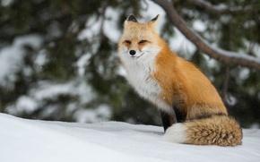 Wallpaper winter, red, snow, Fox