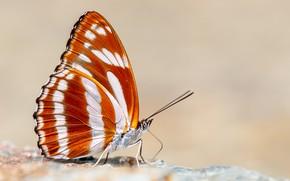 Wallpaper background, butterfly, Athyma jina, Bhutan Sergeant