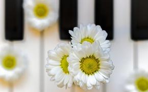 Picture petals, Daisy, keys