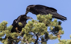 Picture bird, beak, pair, Raven