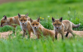 Picture greens, Fox, cubs
