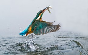 Picture bird, fish, Kingfisher, kingfisher, catch