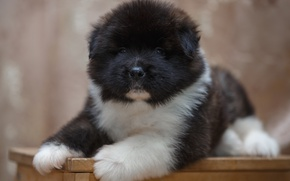 Picture puppy, breed, spotted, Akita