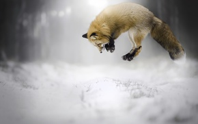 Picture winter, snow, Fox