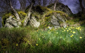 Wallpaper daffodils, landscape, grass, trees, spring, nature, beauty