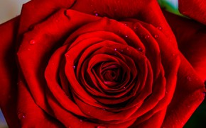 Picture drops, rose, red rose
