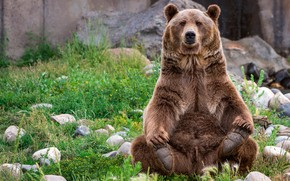 Wallpaper grass, face, stones, paws, wool, bear, sitting, posing, brown, important
