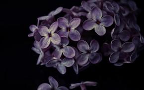 Picture macro, petals, lilac