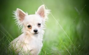 Picture look, portrait, bokeh, doggie, Chihuahua, dog