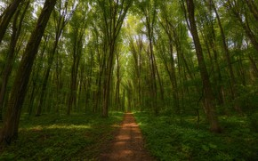 Picture forest, trees, path