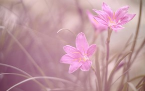 Picture macro, Duo, Zephyranthes