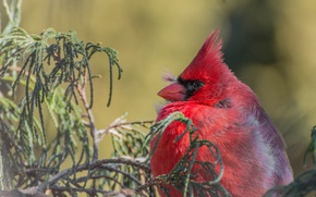 Picture branches, bird, Red cardinal