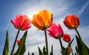 Picture the sky, petals, tulips, buds