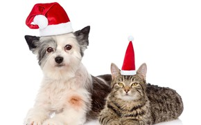 Picture cat, hat, dog, New year, 2018